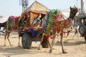 Camel-cart ride at pushkar mela