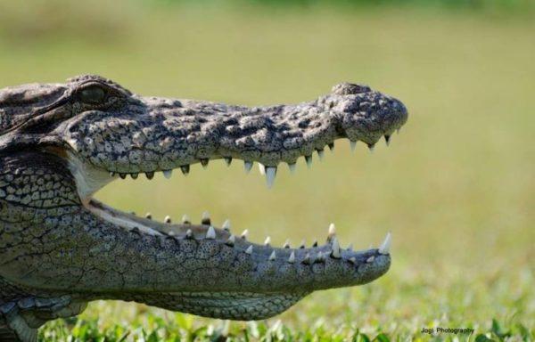 Rare close view of crocodile at crocodile and dolphin safari at dapoli
