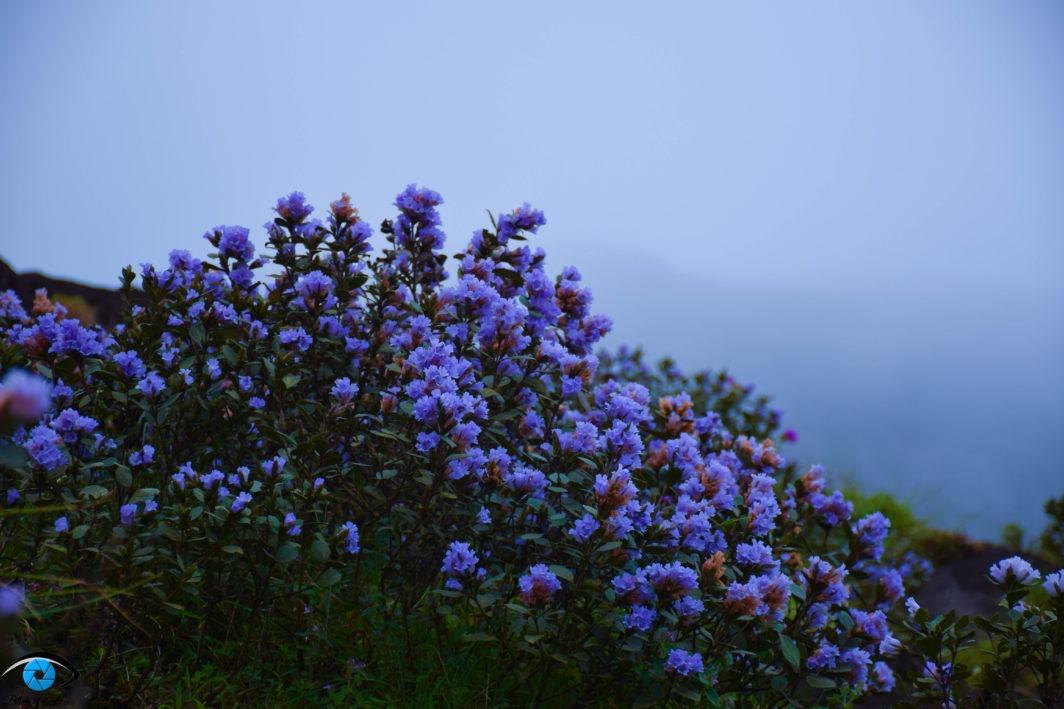 Neelakurinji flowers